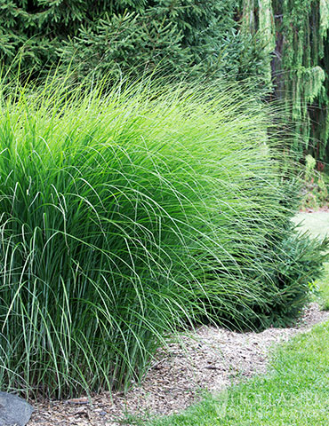 Gracilliumus Miscanthus miscanthus sinensis gracillimus, maiden grass, miscanthus sinensis gracillimus care, miscanthus sinensis gracillimus for sale, silver ornamental grass, maiden grass winter, ornamental grasses, ornamental grasses for sale