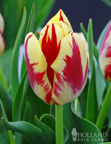 Grand Perfection Triumph Tulip
