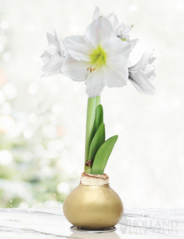 Grateful Heart Waxed Amaryllis
