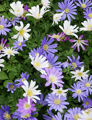 Grecian Windflower or Blanda Anemone