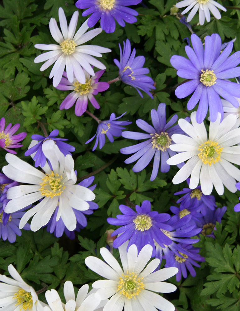 Grecian Windflower or Mixed Anemone - 83143