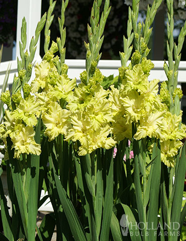 Green Flash Parrot Gladiolus