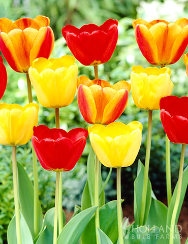 Happy Day Tulip Mix tulip bulbs, spring tulips, tulip varieties, tulip bulbs online, when to buy tulips, bulk tulip orders, colorblends, peach tulips, wholesale bulbs holland, tulip sale, perennial tulip bulbs for sale, best quality tulip bulbs