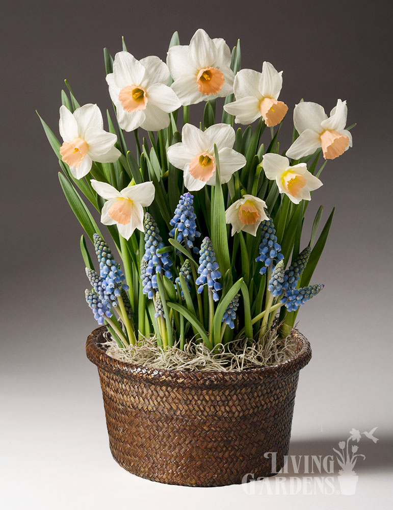 Happy Spring Potted Bulb Garden daffodils indoors, indoor bulb planter, indoor bulb garden gifts, bulb gardens for indoor growing, potted bulb garden gifts, grape hyacinths in pots, gifts for gardeners, daffodils in pots, growing daffodils in pots