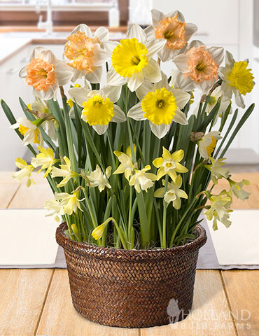 Happy Times Potted Bulb Garden  indoor potted bulb garden, indoor flower bulb garden, indoor garden gifts, potted daffodils, garden gifts, indoor flowers