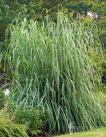 Ornamental Grasses Bareroot Perennials