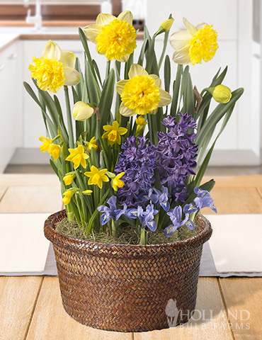 Harmonious Spring Potted Bulb Garden indoor plant garden, tulips blooming in pots, send potted plants, best bulb gifts, potted bulb garden gifts, indoor flower bulb kits, potted daffodils for sale, potted hyacinths for sale