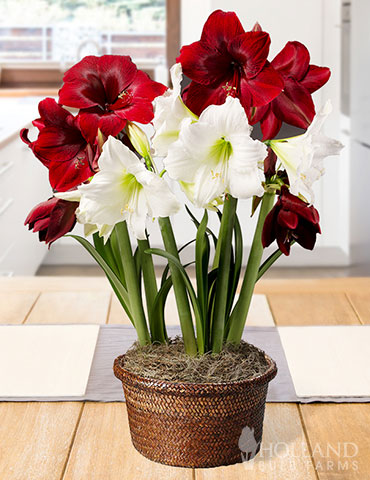 Holiday Twist Potted Bulb Garden potted bulb garden, amaryllis bulbs, potted amaryllis bulbs, ready to grow gardens, gifts for gardeners, holiday garden gifts, amaryllis for sale, red amaryllis, white amaryllis