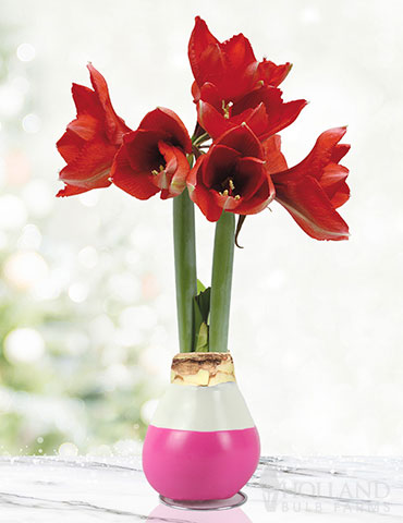 Hugs and Kisses Waxed Amaryllis