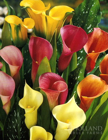 Hybrid Calla Lilies Mixed Value Bag