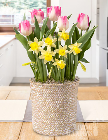 Illuminated Blooms Potted Bulb Garden indoor plant garden, tulips blooming in pots, send potted plants, best bulb gifts, potted bulb garden gifts, indoor flower bulb kits, potted daffodils for sale, potted hyacinths for sale