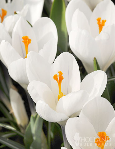 Jeanne d' Arc Giant Crocus