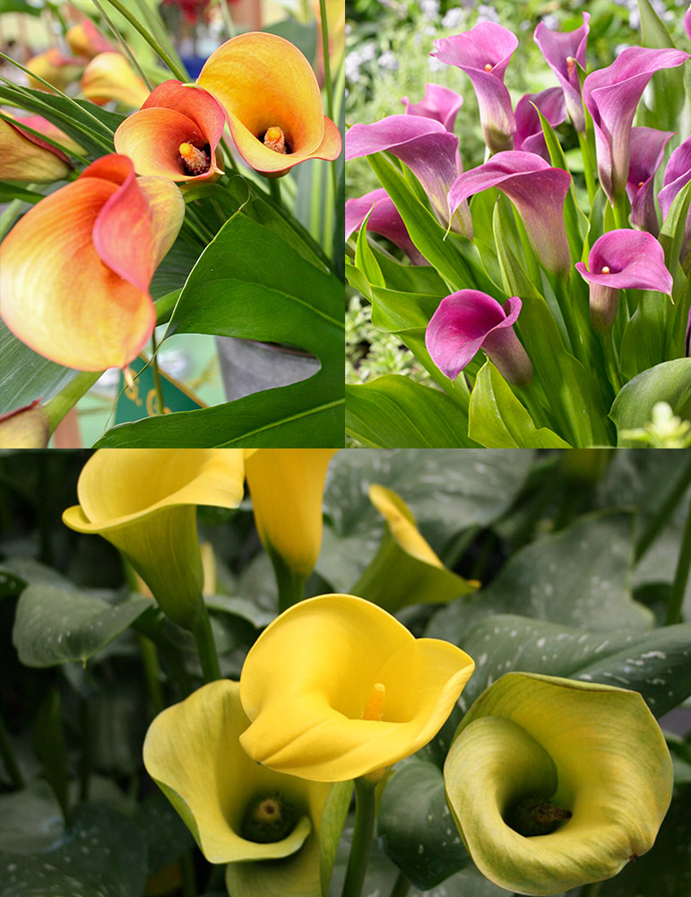 Juicy Fruit Calla Collection