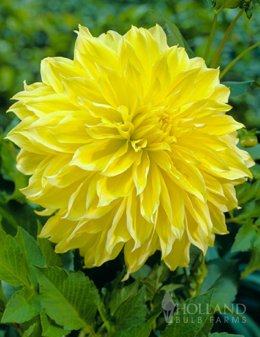 Kelvin Floodlight Dahlia Jumbo Pack