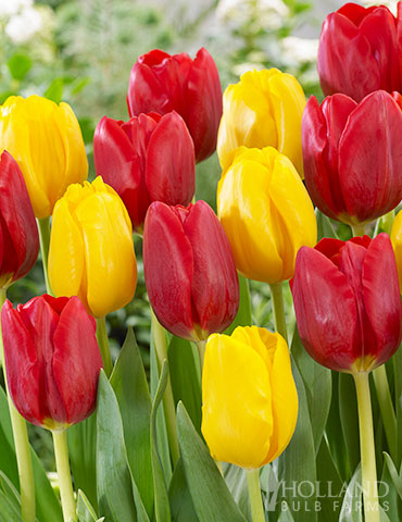 Ketchup and Mustard Tulip Duo tulip bulbs, tulips, tulip bulbs for sale online, mixed tulips, mixed tulip bulbs, wholesale flower bulbs, bulbs from holland