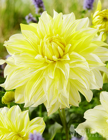 La Luna Dahlia dahlia tubers for sale, dahlia flower season, cheap dahlia tubers, dahlia flower information, soft yellow flowers, yellow dahlias, white dahlias, wedding dahlias, flowers for wedding, wedding bouquet flowers, wedding cut flowers, DIY wedding flowers, diy wedding flower