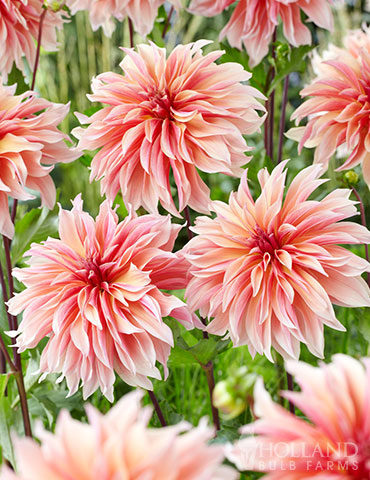 Labyrinth Decorative Dahlia - 74213