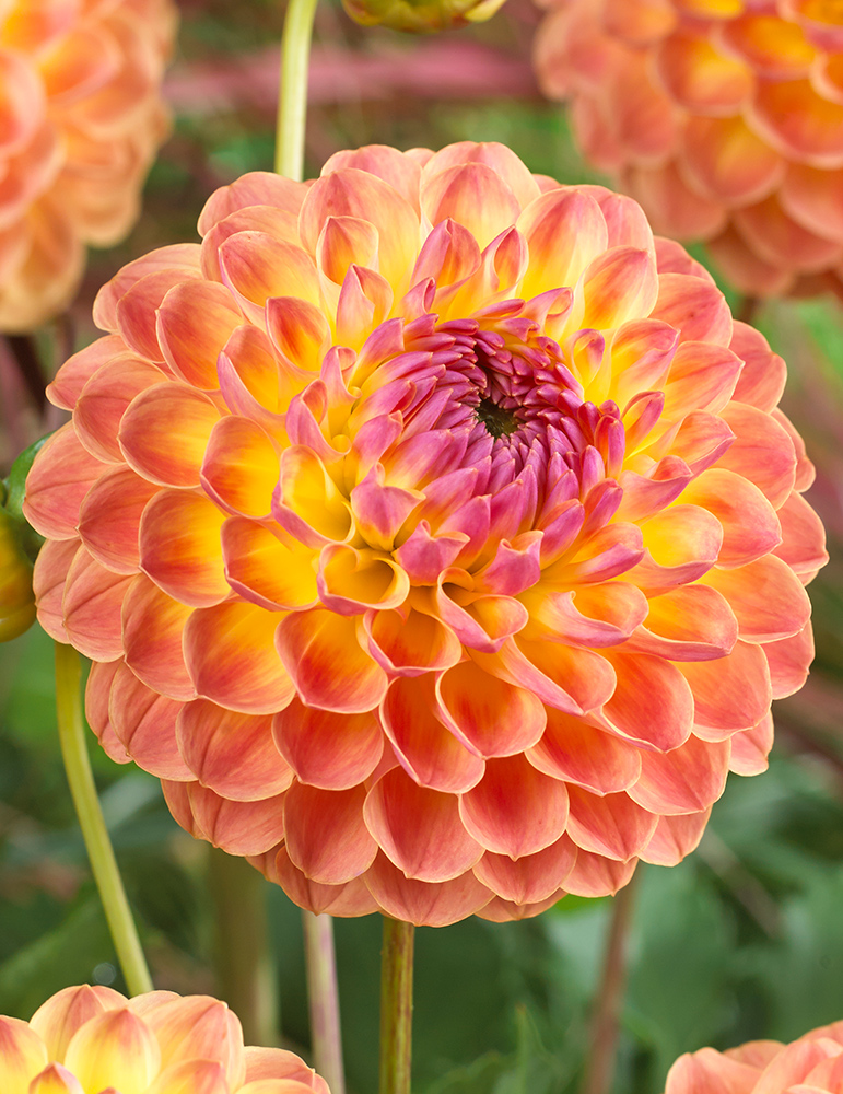 Lakeland Autumn Dahlia