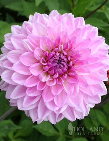 Lavender Perfection Dinnerplate Dahlia