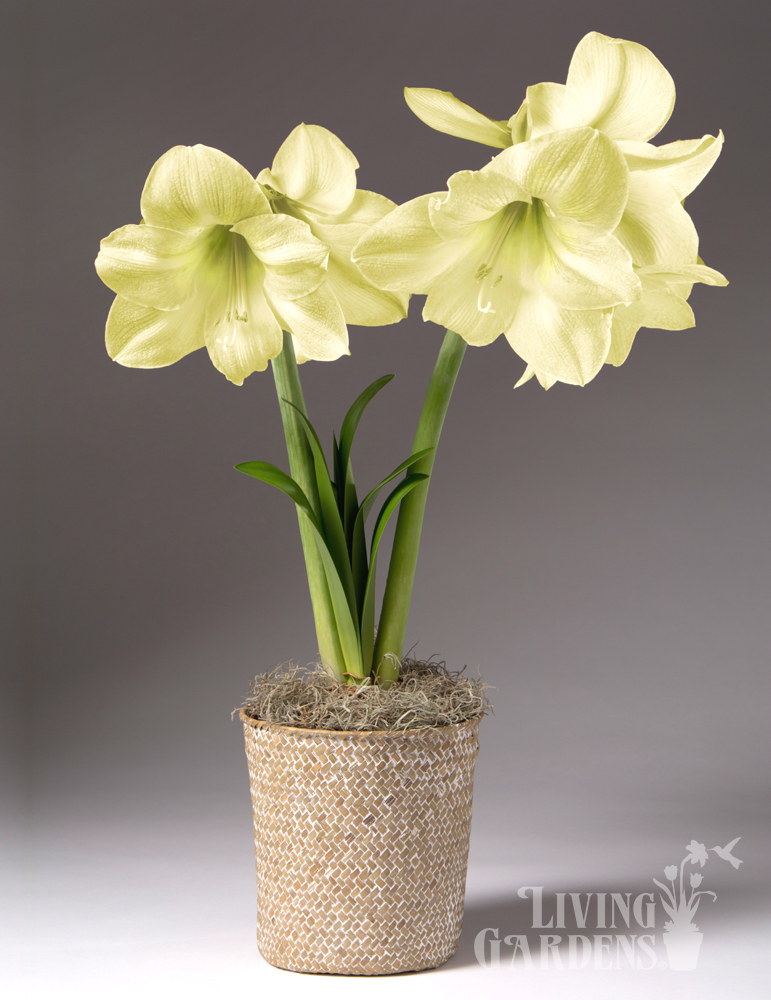 Lemon Star Amaryllis Potted Bulb Garden