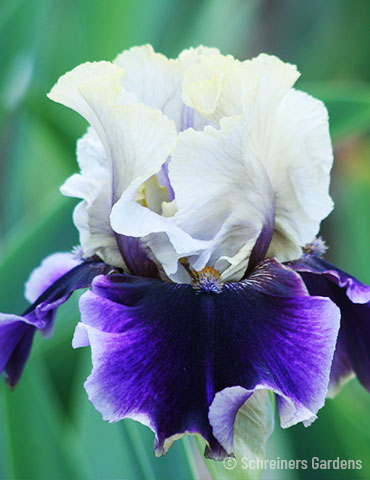 Let's Romp Bearded Iris