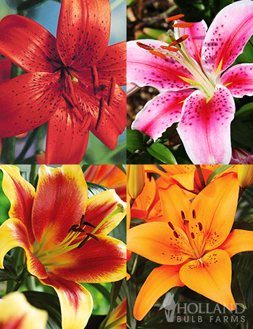 Lily Sampler Collection