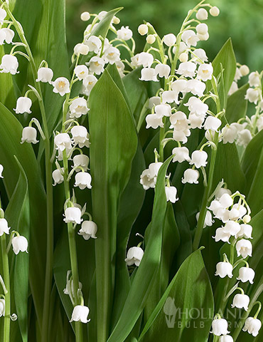 Lily of the Valley - 77225
