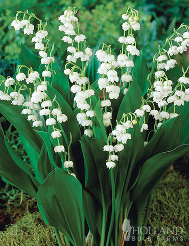 Lily of the Valley - 77595