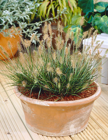 Little Bunny Fountain Grass little bunny fountain grass, little bunny grass, pennisetum little bunny, pennisetum alopecuroides, pennisetum little honey, pennisetum hameln little bunny, pennisetum alopecuroides fountain grass