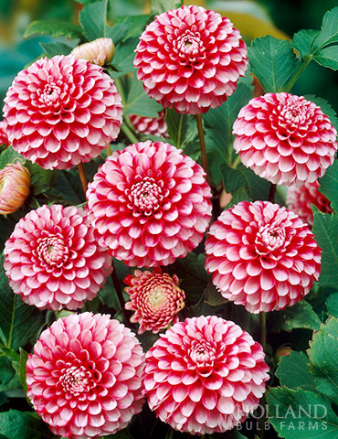 Little William Dahlia Little William Dahlias, dahlia little william, new dahlias, pompon dahlias, ball dahlias, dahlia tubers for sale, best dahlia tubers, best place to buy dahlias online, dahlias online, red dahlias
