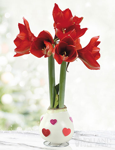 Love Is In The Air Waxed Amaryllis