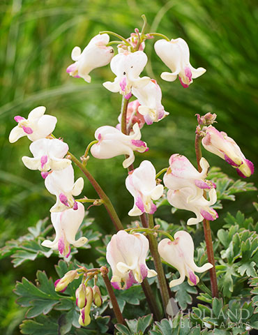 Lovehearts Bleeding Hearts