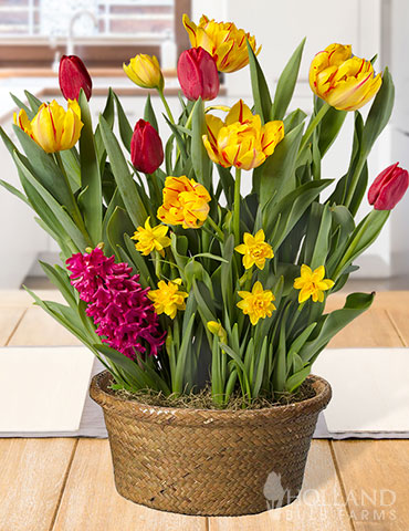 Lovely Life Potted Bulb Garden potted bulbs, indoor bulb gifts, potted bulb garden gifts, best bulb gifts, garden gifts for mom, best gifts for mothers day, indoor growing gifts