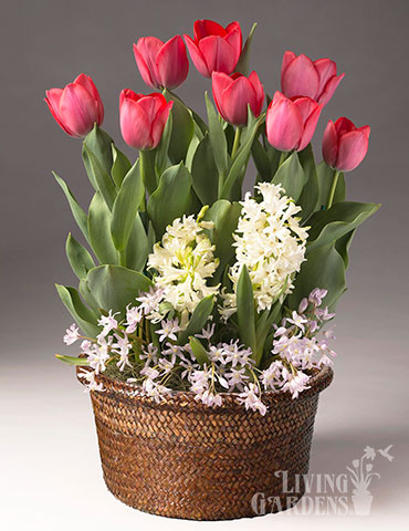 Lucky In Love Potted Bulb Garden Indoor bulb garden gifts, bulb gardens for indoor growing, potted bulb garden gifts, hyacinths for indoors, tulips for indoors, indoor flower bulb kits, tulips in pots, hyacinths in pots