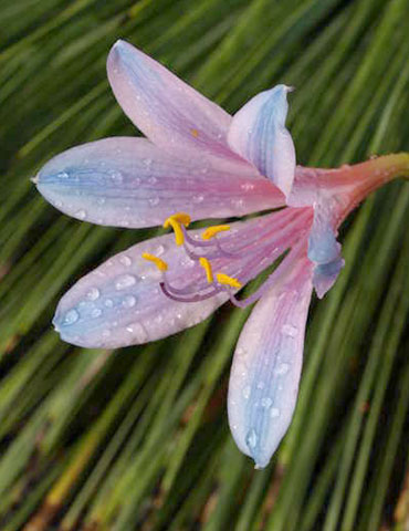 Electric Blue Spider Lily - 87118