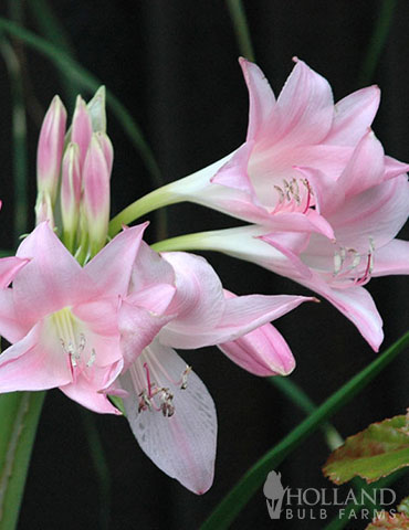 Pink Magic Lily
