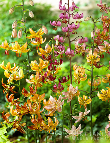 Martagon Hybrid Lily Mix