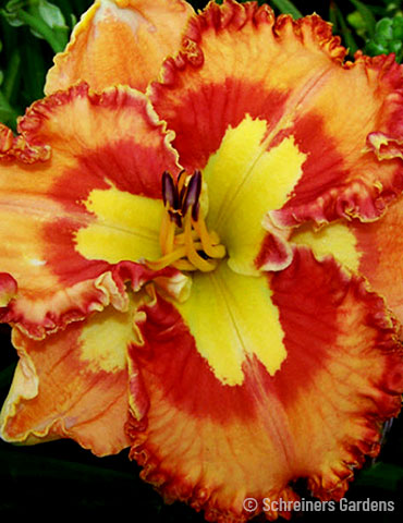 Mexican Fiesta Re-Blooming Daylily