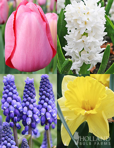 Mid Spring Blooms Collection april flowers, may flowers, daffodil bulbs, tulip bulbs, flowers that bloom in spring, flowers that bloom in mid-spring