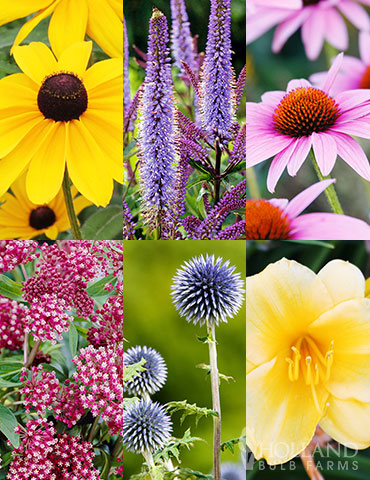 Mid Summer Perennial Collection  mid summer blooming perennial collection , perennials that bloom in July, flowers that bloom in summer, perennials that bloom in August, rudbeckia, echinacea