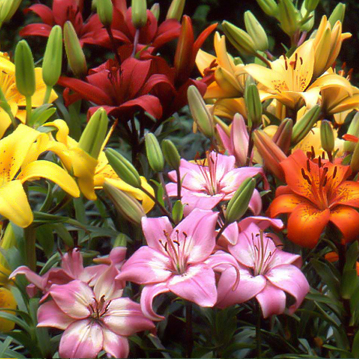 Mixed Asiatic Lilies