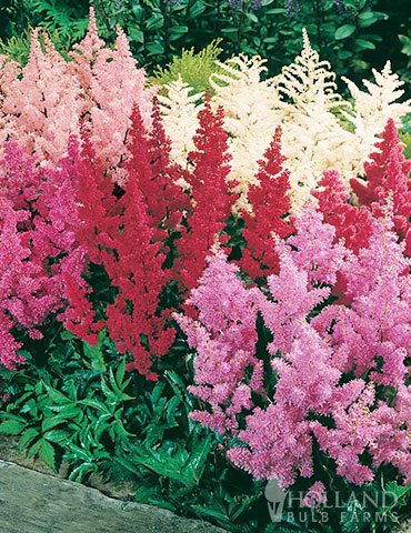 Mixed Astilbe