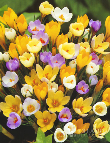 Mixed Botanical Crocus Jumbo Pack