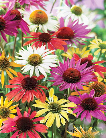Mixed Coneflower