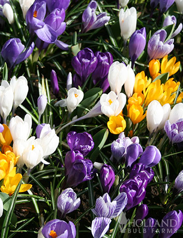 Mixed Crocus Jumbo Pack