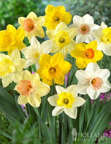 Mixed Daffodils Naturalizing Holland Bulb Farms 82163