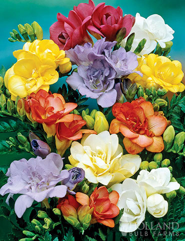 Mixed Double Freesia