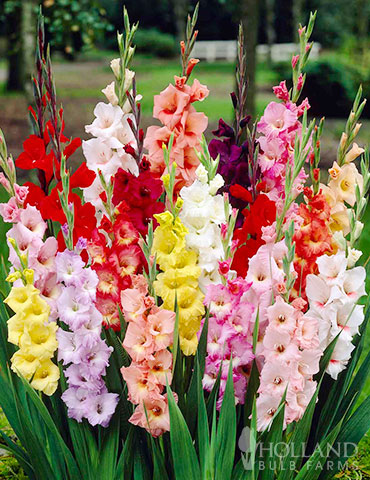 Mixed Gladiolus Grower Special