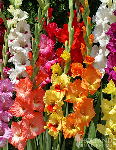 Mixed Gladiolus Super Pack - 76108