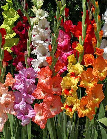 Mixed Gladiolus Value Bag